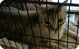 Siamese Cat for adoption in Texarkana, Arkansas - Simon
