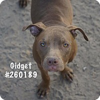 Pit Bull Terrier Mix Dog for adoption in Conroe, Texas - GIDGET