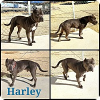 American Staffordshire Terrier Mix Dog for adoption in California City, California - Harley