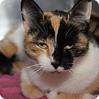 Calico Cat for adoption in Marietta, Ohio - Pandora (Spayed)