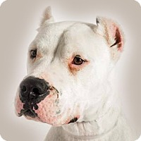 Adopt A Pet :: Blitz - Prescott, AZ