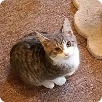 Adopt A Pet :: Ike - Berkeley Hts, NJ