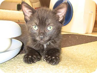 Domestic Shorthair Kitten for adoption in Narberth, Pennsylvania - Rodeo