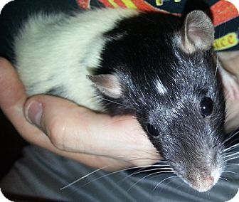 Rat for adoption in Lakewood, Washington - White Diamond