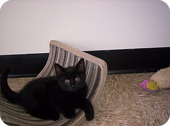 Domestic Mediumhair Kitten for adoption in Pineville, North Carolina - Onyx