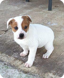 English Bulldog Mix Puppies English Bulldog Beagle...