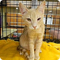 Adopt A Pet :: Mango - The Colony, TX