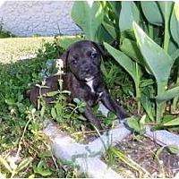 Adopt A Pet :: Pippa - Orlando, FL