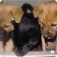 Adopt A Pet :: 3 pups - Lucerne Valley, CA