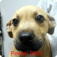 Adopt A Pet :: Pewter - baltimore, MD