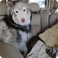 Adopt A Pet :: Koda - Surprise, AZ