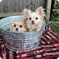 Adopt A Pet :: Cricket - Shawnee Mission, KS