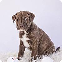 Adopt A Pet :: Howie - Adoption Pending - West Allis, WI