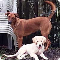 Adopt A Pet :: BAILEY - DeLand, FL