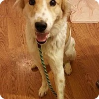 Adopt A Pet :: Bowie / sweet - Hillside, IL