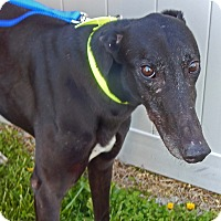 Adopt A Pet :: Suzie - Florence, KY