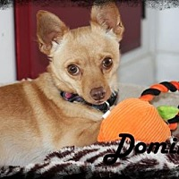 Pomeranian/Chihuahua Mix Dog for adoption in Anaheim Hills, California - Domino