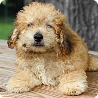 Adopt A Pet :: Duke - Waldorf, MD