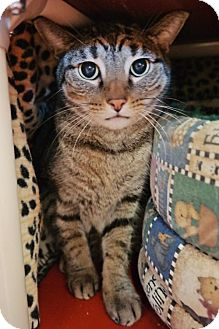 Domestic Shorthair Cat for adoption in Cocoa, Florida - Johnny (Cocoa Center)