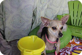 Chihuahua/Beagle Mix Dog for adoption in San Antonio, Texas - Apple Jack