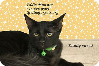 Domestic Shorthair Kitten for adoption in Monrovia, California - A Kitten Boy: EDDIE MUNSTER