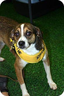 Beagle/Italian Greyhound Mix Dog for adoption in Rowayton, Connecticut - Hampton Adorable Perfect Sized Boy