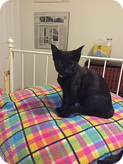 Domestic Shorthair Kitten for adoption in THORNHILL, Ontario - Spike