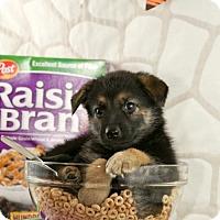 Adopt A Pet :: Raisin Bran - Glastonbury, CT