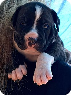 American Staffordshire Terrier Mix Puppy for adoption in Salem, Massachusetts - Anna
