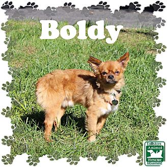 Chihuahua Mix Dog for adoption in Fallston, Maryland - Boldy