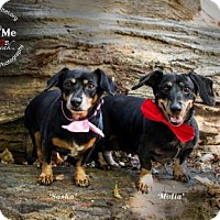 Adopt A Pet :: Sasha and Malia - New Milford, CT