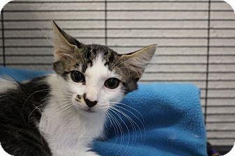 Domestic Mediumhair Kitten for adoption in Sarasota, Florida - Nigel