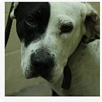 Adopt A Pet :: Brittany - Cookeville, TN
