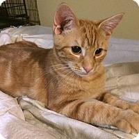 Adopt A Pet :: Ollie - Albany, NY