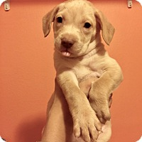 Adopt A Pet :: HANNAH - Mesa, AZ