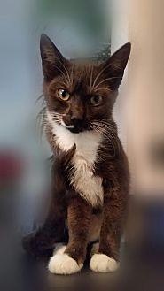 Domestic Shorthair Kitten for adoption in Ocala, Florida - Presto & Juno