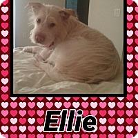Adopt A Pet :: Ellie - Scottsdale, AZ