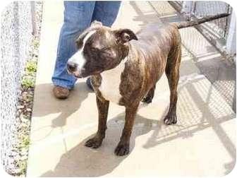 ... , Medium) Mix Dog for adoption in Charleston, Illinois - brindle dog
