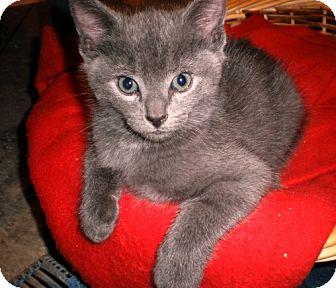 Manx Kitten for adoption in Norwich, New York - Gussie