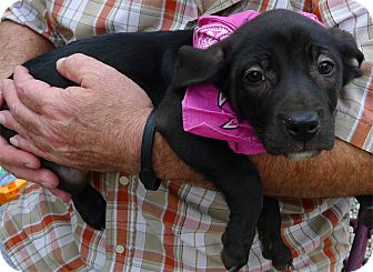 Labrador Retriever Mix Puppy for adoption in Sacramento, California - Saqquara sweety