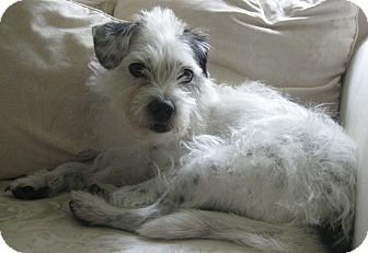 Jack Russell Terrier/Terrier (Unknown Type, Small) Mix Dog for adoption in Mission Viejo, California - SEBASTIAN