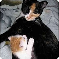 Adopt A Pet :: Lap Cat and kitten - New York, NY