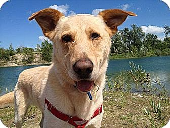 German Shepherd Dog/Labrador Retriever Mix Dog for adoption in Guelph, Ontario - Martin