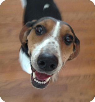Beagle/Treeing Walker Coonhound Mix Dog for adoption in Chicago, Illinois - Ruthie*Foster needed!*