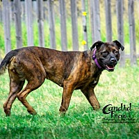 American Pit Bull Terrier Mix Dog for adoption in Bedford, Texas - Sadie
