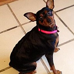 Photo 2 - Miniature Pinscher Dog for adoption in Tustin, California - Dutchess