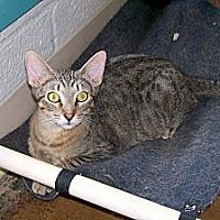 Adopt A Pet :: Tiger - Scottsdale, AZ