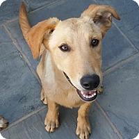 Adopt A Pet :: Ginger - Castaic, CA