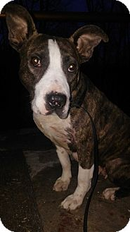 American Bulldog Mix Dog for adoption in Cranston, Rhode Island - Pink