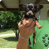 Adopt A Pet :: Amorette - Charlemont, MA